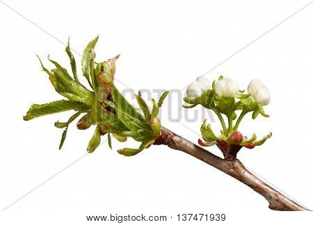 Cherry Fresh Leaves And Blossoms