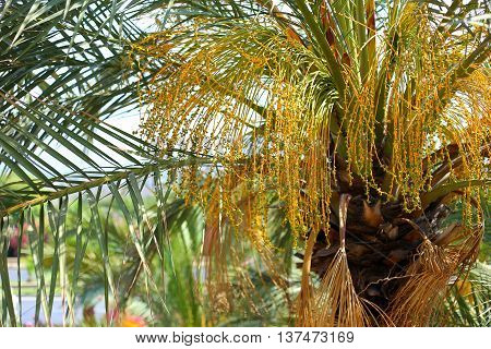 Close up of flowering Date Palm Tree. Young fruit palm trees, close-up.