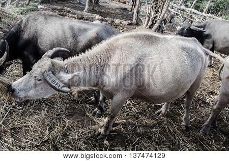 Thai buffalo close up and buffalo family