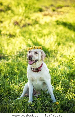 Dog pale-yellow Labrador sitting on the grass