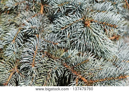 Background of blue spruce branches. Closeup of evergreen conifer pine. Christmas fir tree with cones