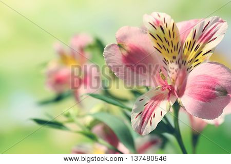 Alstroemeria on green background