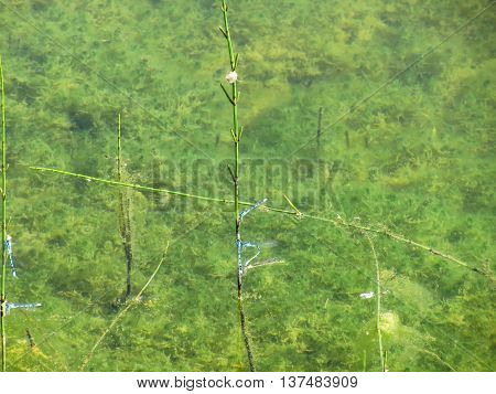 Azure damselflies with their eggs on stems of aquatic plants in a mountain lake