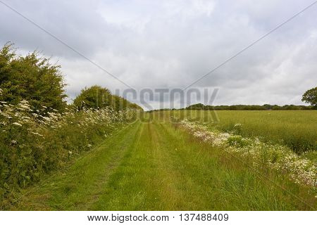 Bridleway With Cow Parsley