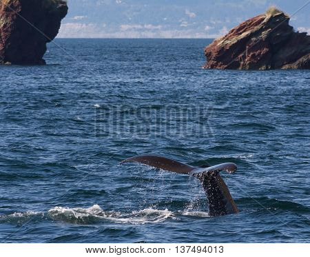 Water dips off the tail of a humpback whale nearly vertical as it dives deep into the water.