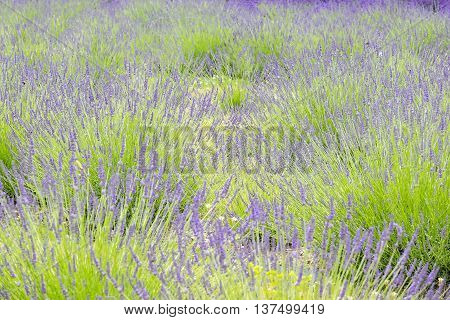 Close Up of a Field of Purple Lavender
