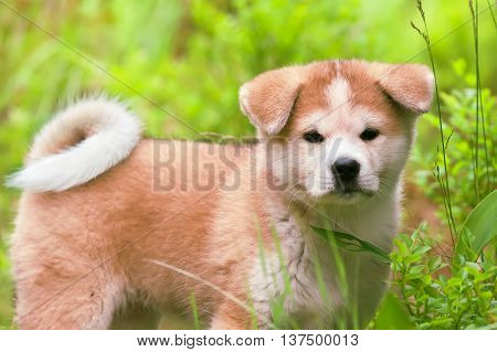 Japanese Akita Inu puppy white and red dog close up