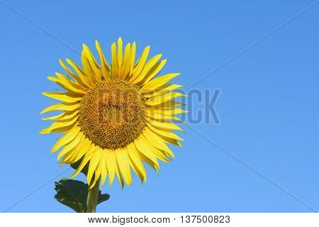 Single sunflower on the blue sky background. Space for your text.