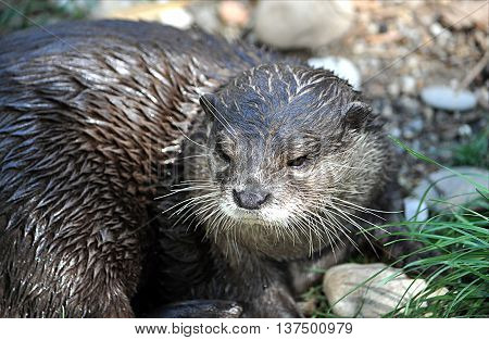 look at the little predator in nature - Otter