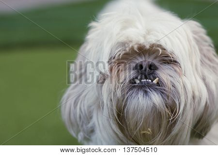 Puppy Shih Tzu So Cute Wow Cutie