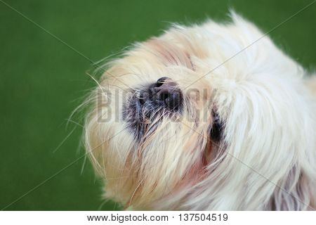 Shih Tzu Puppy Is So Cute Green