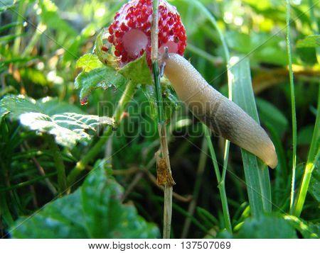 slug eating a strawberrya pest of gardensgastropod mollusk.