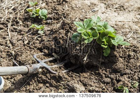 Digging spring soil with pitchfork in garden