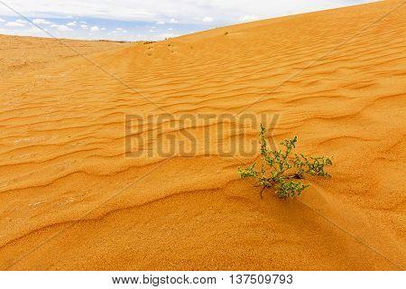 Desert plant in the Kyzylkum Desert in Uzbekistan.