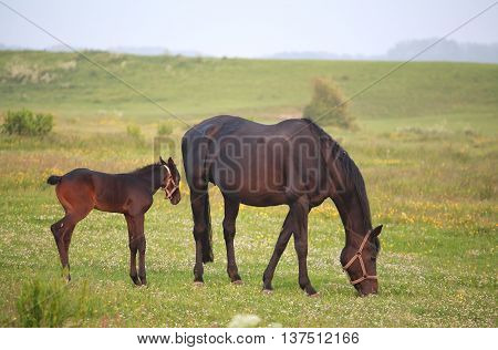 horse with foal grazing on green pasture