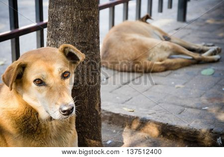 Two thai dogs resting on the street.