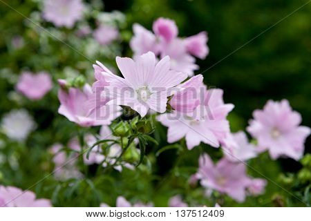 Vervain mallow (Malva alcea) in the wild