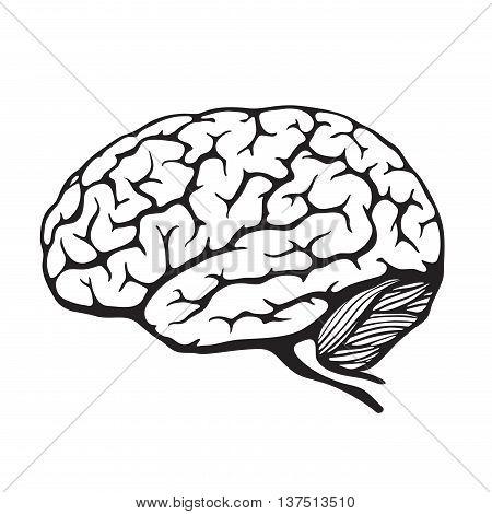 Human brain. Vector illustration of a human organ