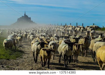 The picture has been taken in front of Mont Saint Michel, France. At the moment lots of sheeps are running in front of the photographer. FRANCE, 07.07.2016.
