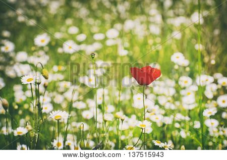 Red Poppy and White Daisy Summer Field