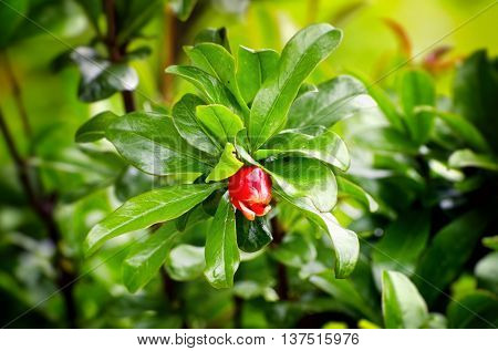 Photo of the Pomegranate Blossom Over Green natural Background