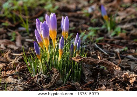 cluster of purple crocus flowers in bloom