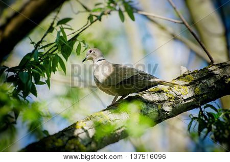 Dove at Green Tree Branch Over Blue Sky