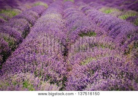Photo of the Summer Purple Blossom Lavender Field