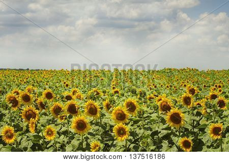 Photo of the Summer Sunflower Blossom Field