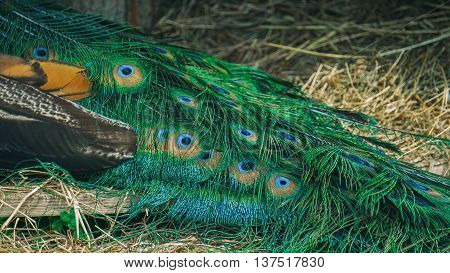 peacock tail,peacock's eyes, tail feathers, bird peacock