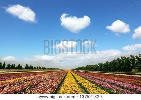 Spring flowering buttercups. Magnificent flower carpet of colorful garden buttercups.  Israeli kibbutz close to the border