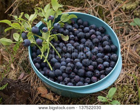 Blueberries in a bowl in a forrest.