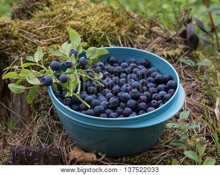 Blueberries in a bowl in the middle of the forrest