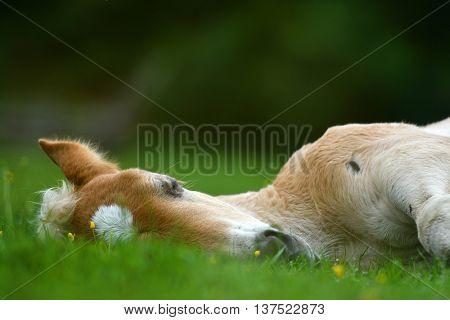 Young cute foal outdoor
