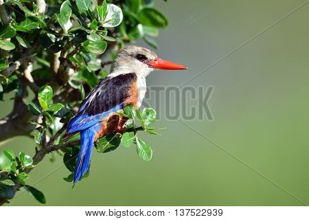 The grey-headed kingfisher (Halcyon leucocephala) in natural habitat