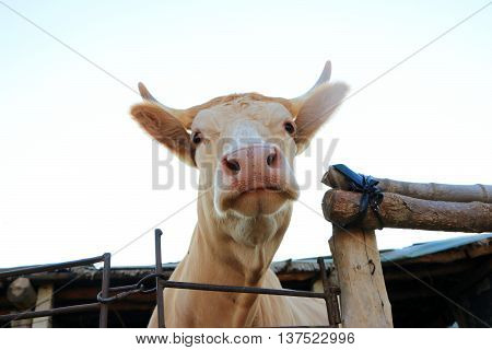 A funny look cattle staring at the me in a farm in the northeast of China