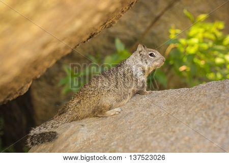 Ground squirrel sitting on the big rock.