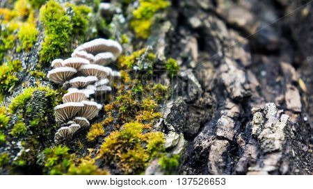 the old large dark gray stump grow moss green and fluffy white mushrooms parasites brown shades, close-up