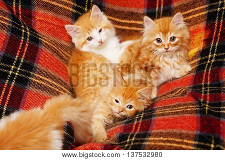Four cute little red kittens hide in the folds of tartan plaid. Pets. Funny animals.