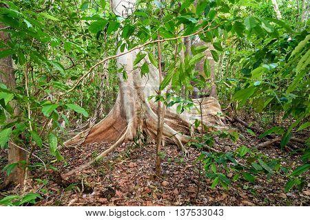 Giant Ficus Tree In Tangkoko National Park.