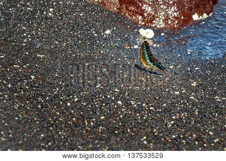 Butterfly on black sand volcanic beach in Tangkoko National Park. North Sulawesi. Indonesia