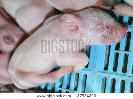 Newborn piglet sleep in the farm of Thailand