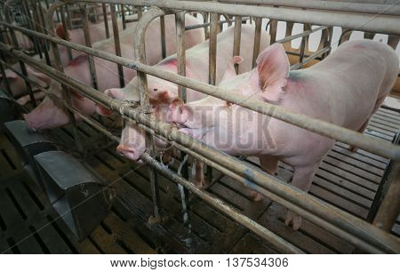 pig eating water in farm of Thailand