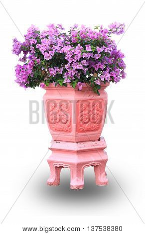 Flowering bougainvillea in a pink flower pot isolated on a white background with clipping path.