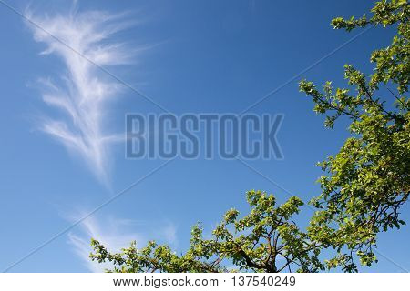 Lonely cirrus cloud in a clear, blue sky above leafy, green trees