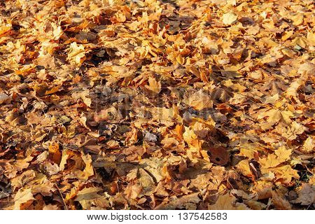 abstract background of the fallen yellow autumn leaves