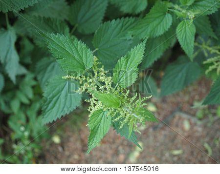 Nettle (urtica) Plant