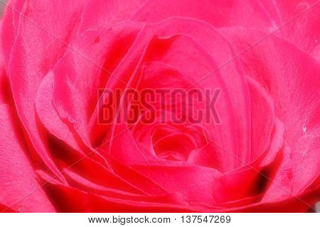 beautiful red rose flower as an element of decor