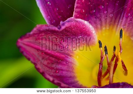 Close up Detail of a Lily. day lily in water drop. wet red-yellow lily