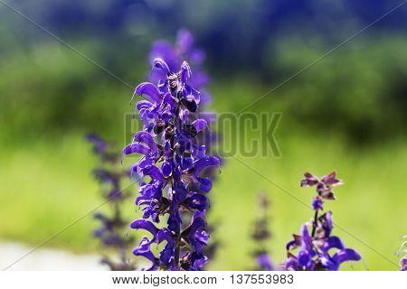 purple (violet) spring flowers in a garden